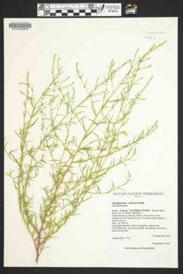 Corispermum villosum image