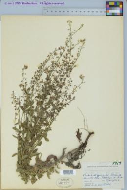 Hackelia ursina image