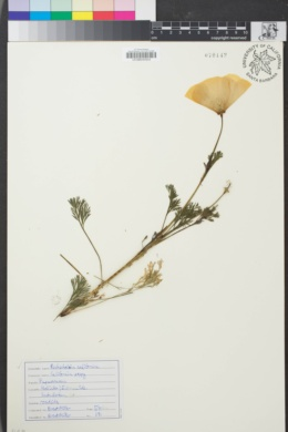 Image of Eschscholzia californica