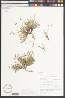 Image of Erigeron cronquistii