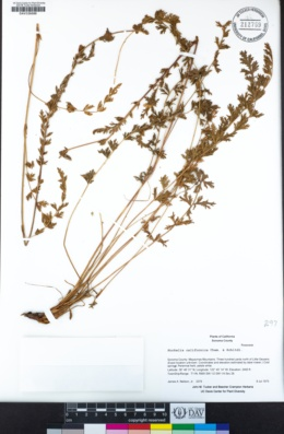 Image of Horkelia californica