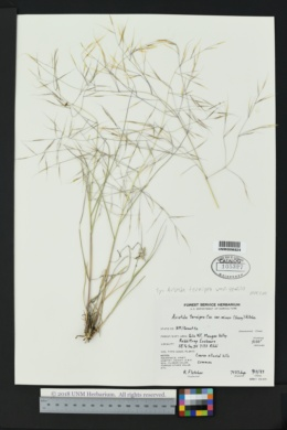 Aristida ternipes image
