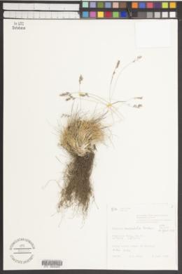 Image of Festuca auriculata