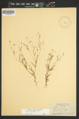 Pectis filipes var. subnuda image