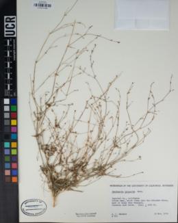 Boerhavia triquetra image