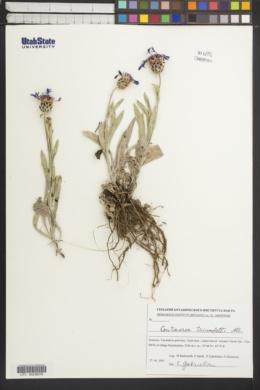 Image of Centaurea triumfettii