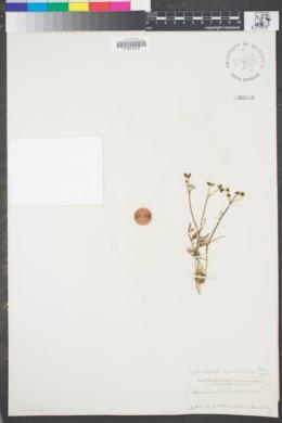 Image of Lomatium caruifolium