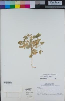 Lupinus shockleyi image