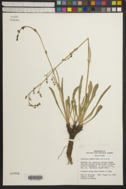 Image of Vangueria edulis