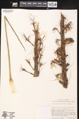 Agave geminiflora image