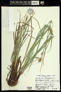 Image of Carex rhynchoperigynium