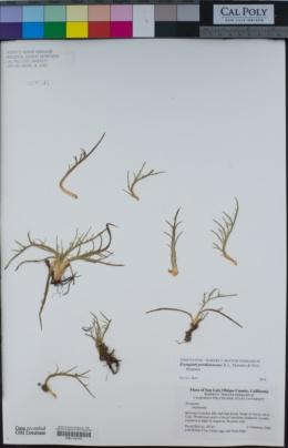 Eryngium pendletonense image