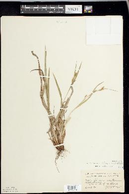 Image of Carex haleana