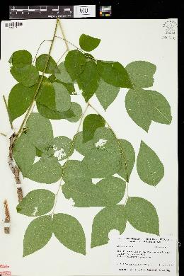 Gymnocladus dioicus image