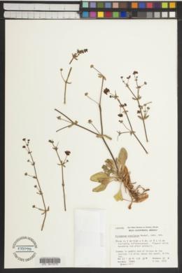Eriogonum preclarum image