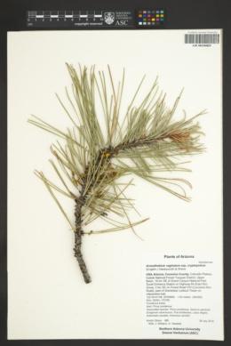 Arceuthobium vaginatum subsp. cryptopodum image