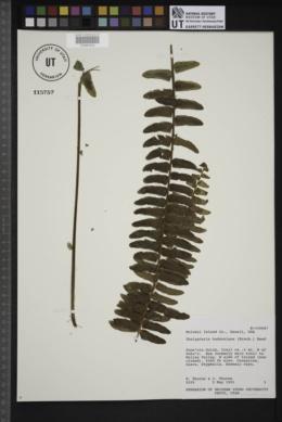 Thelypteris hudsoniana image
