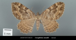Coryphista meadii image