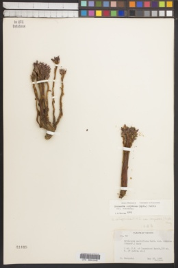 Orobanche corymbosa image