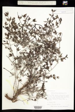 Acleisanthes longiflora image