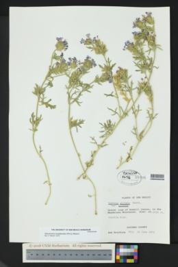 Image of Glandularia polyantha