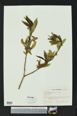 Salix lasiandra var. caudata image
