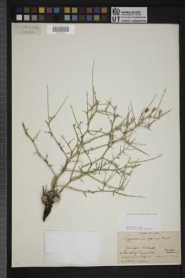 Pleiacanthus spinosus image