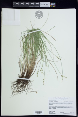 Carex interior image