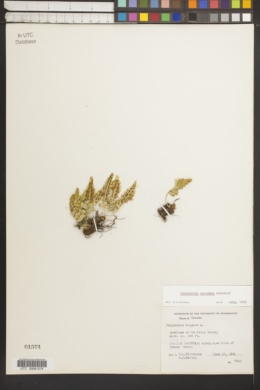 Image of Polypodium amorphum