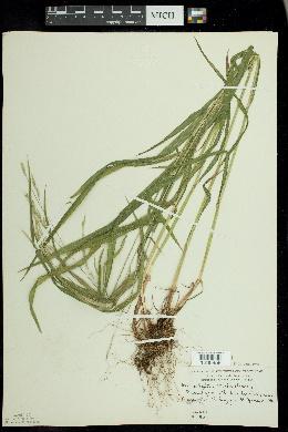 Melica smithii image