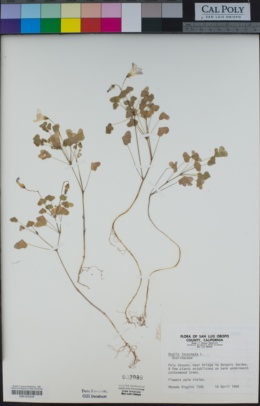 Oxalis incarnata image