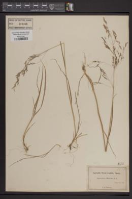 Image of Agrostis novae-angliae