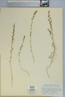 Bassia hyssopifolia image