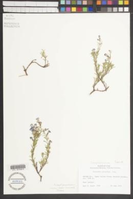 Penstemon abietinus image