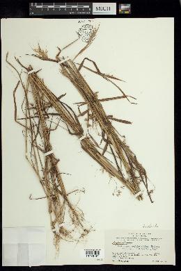 Image of Euclasta condylotricha