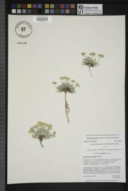 Physaria arizonica image