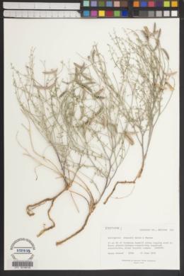 Astragalus pinonis var. atwoodii image