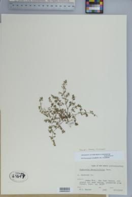Euphorbia serpillifolia subsp. serpillifolia image