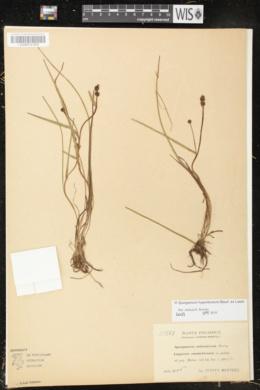 Sparganium hyperboreum image