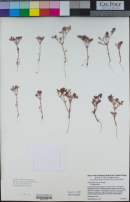 Chorizanthe xanti image