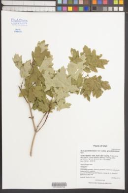 Acer grandidentatum subsp. grandidentatum image