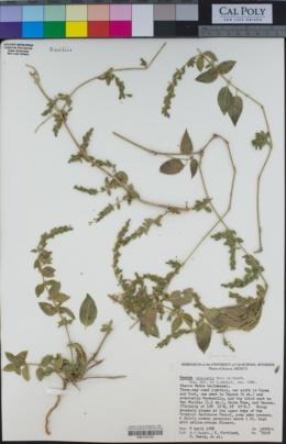 Henrya insularis image