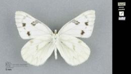 Pontia occidentalis image
