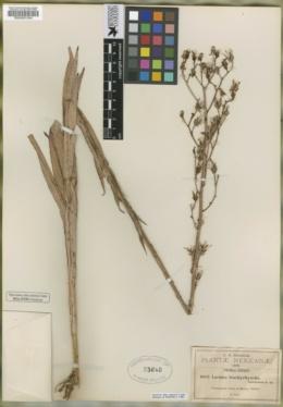 Image of Lactuca brachyrrhyncha