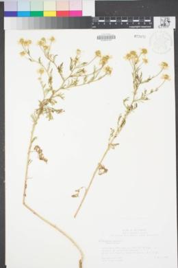 Image of Anthemis cotula