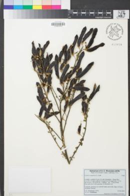 Image of Cytisus scoparius