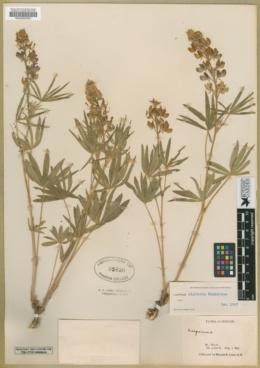 Image of Lupinus alpicola