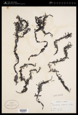 Ascophyllum nodosum image