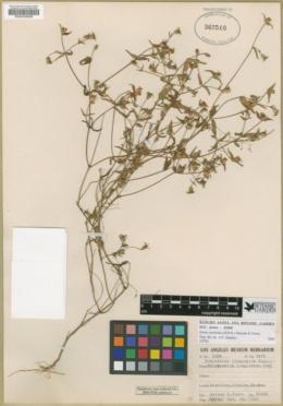 Zinnia zinnioides image