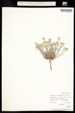 Lesquerella intermedia image